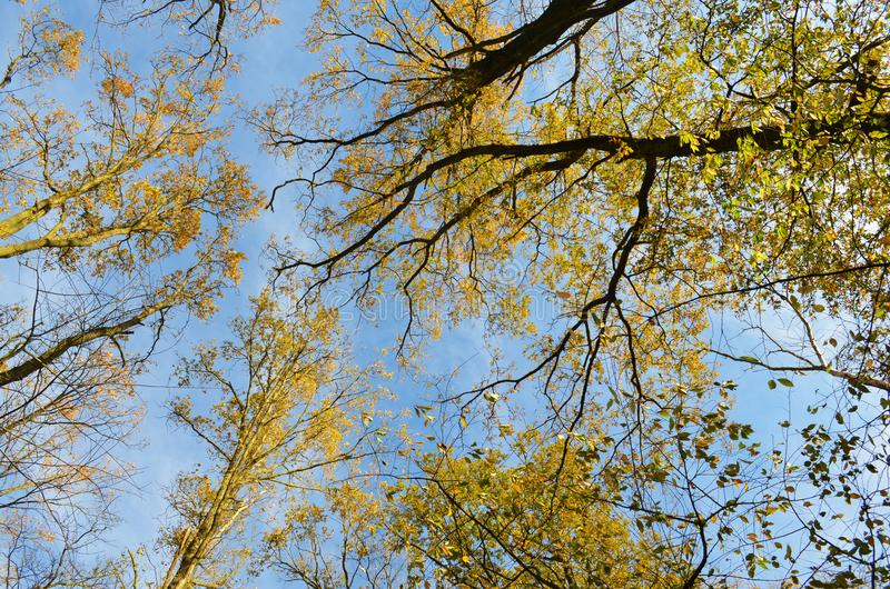 Schauen Sie oben zur Krone von Bäumen stockfoto