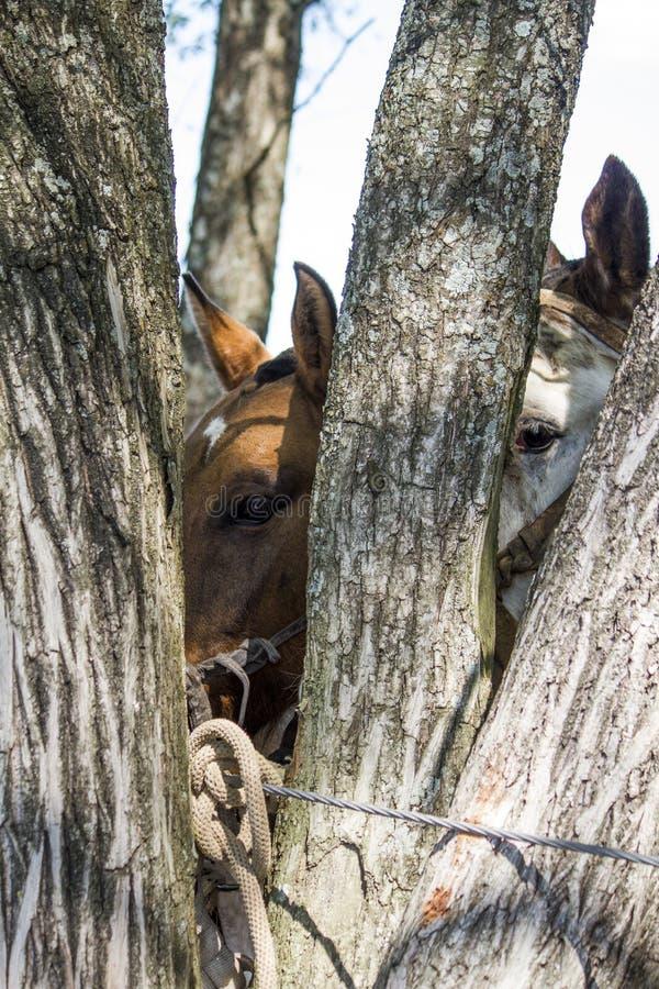 Schauen Sie von zwei Pferden lizenzfreie stockbilder