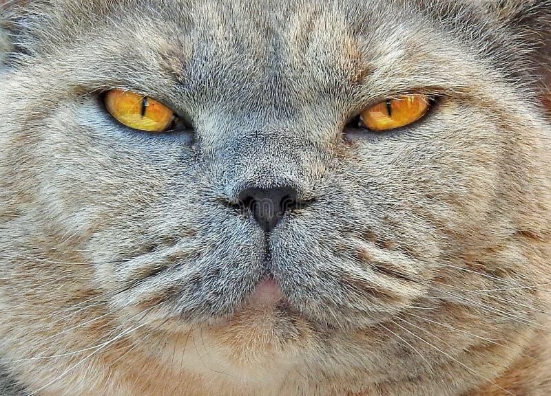 Schauendes Mittelgesicht der Zucht- Katze stockbilder