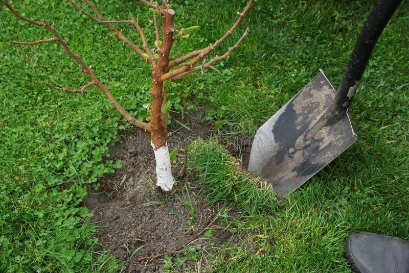 Schaufelgrabungen im Boden und im grünen Gras durch einen Gartenbaum lizenzfreie stockfotos