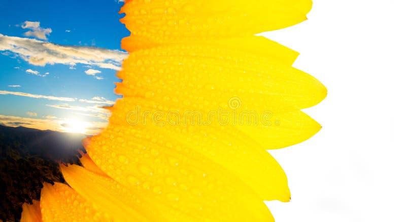 Scheda 2 del girasole fotografia stock libera da diritti