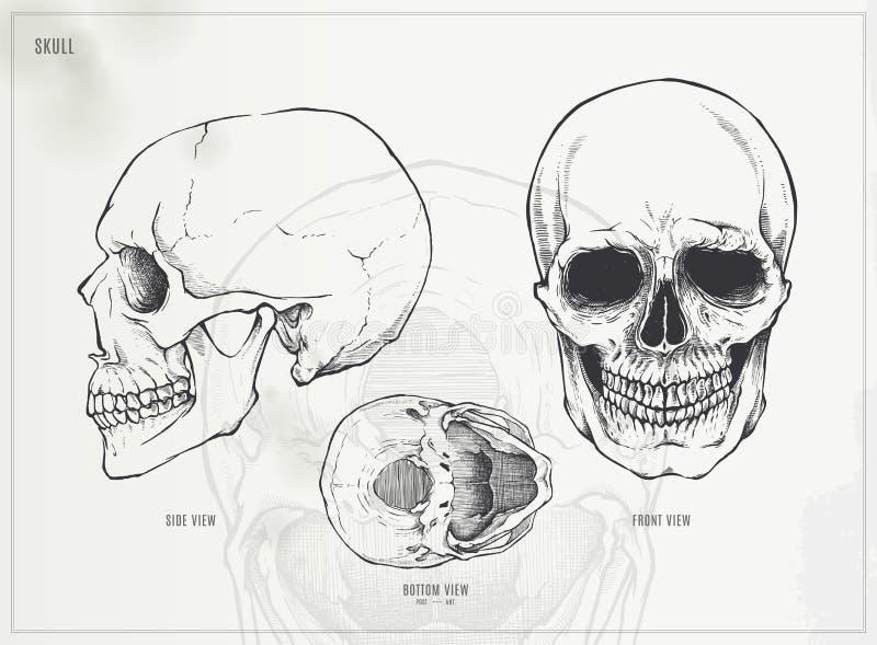 Schedel stock illustratie