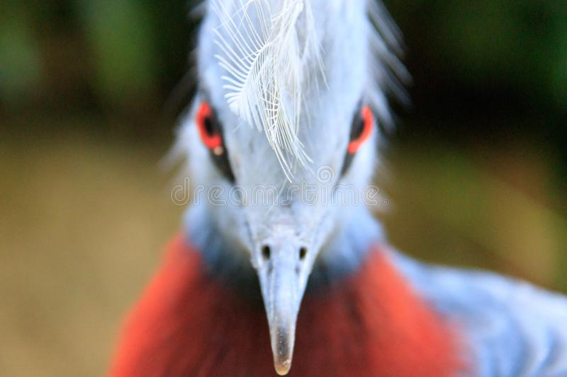 Scheepmaker`s crowned pigeon staring straight royalty free stock photos