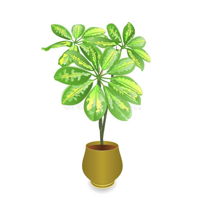 Schefflera plant in pot Schefflera arboricola, dwarf umbrella treeon white background for interior design vintage vector illustr. Ation editable hand draw vector illustration