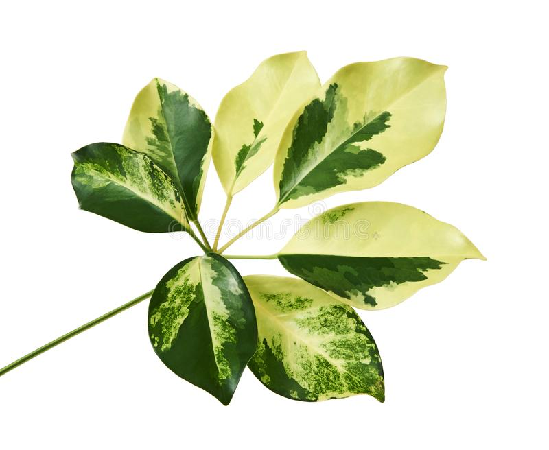 Schefflera variegated foliage `Gold Capella`, Exotic tropical leaf, isolated on white background with clipping path stock images