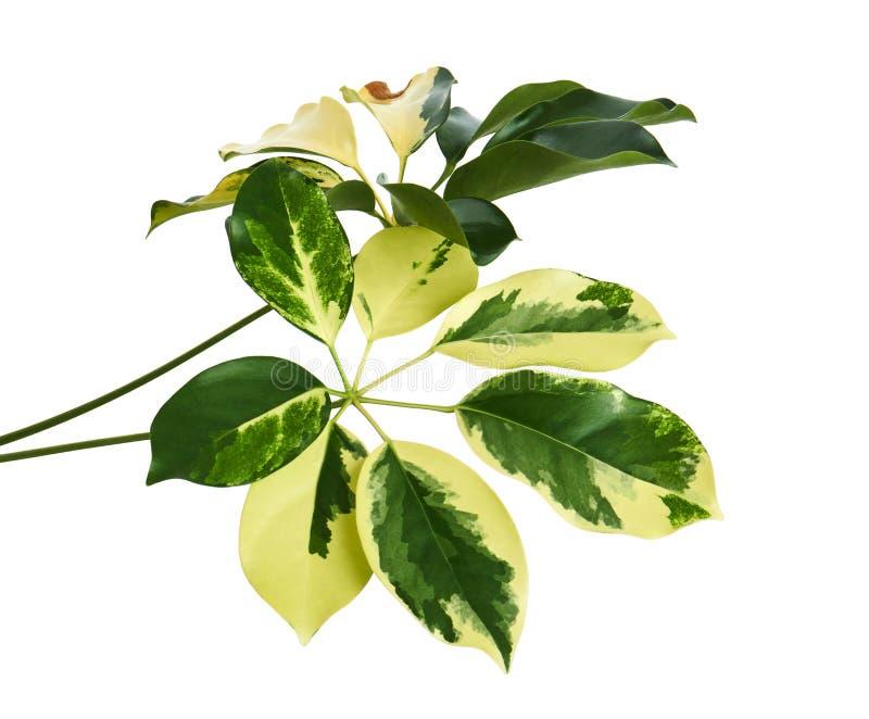 Scheffleraen nyanserade guld- Capella för lövverk` `, det exotiska tropiska bladet som isolerades på vit bakgrund med den snabba  arkivbild