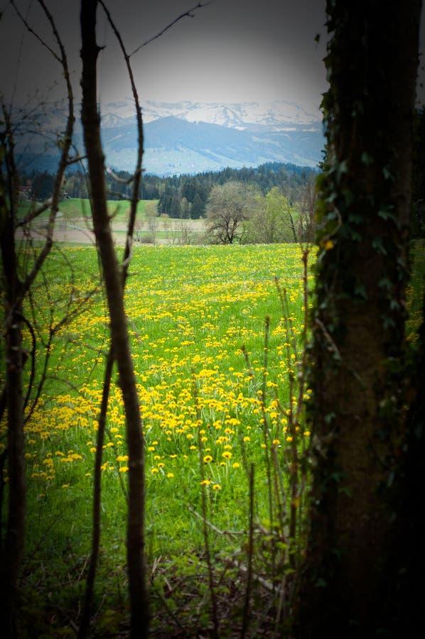 Scheidegg, Alemanha - 24 de abril de 2019: Prado da mola com dentes-de-leão e cumes no horizonte Os dentes-de-leão de florescênci fotos de stock royalty free