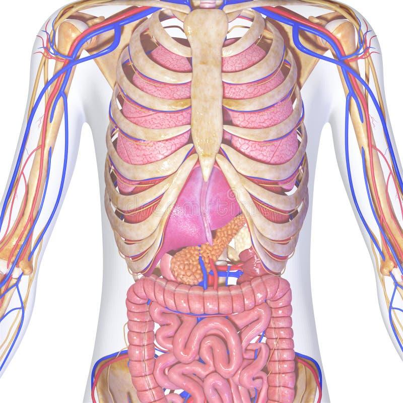 Scheletro con gli organi illustrazione di stock