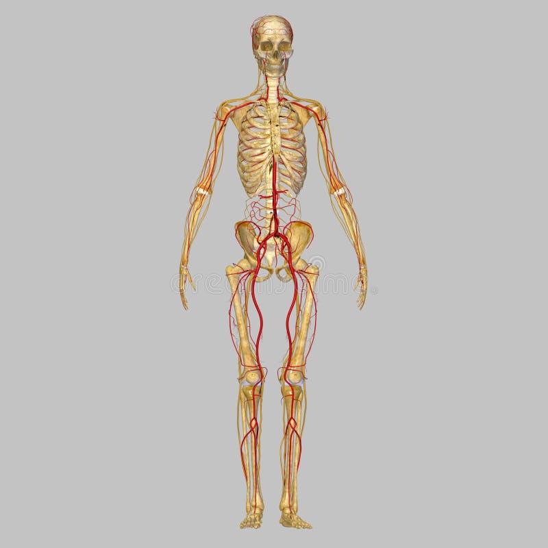 Scheletro con le arterie ed i nervi illustrazione di stock