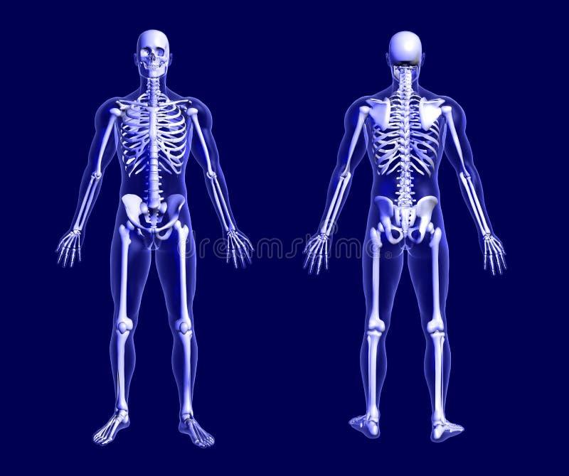 Scheletro dei raggi X sull'azzurro royalty illustrazione gratis