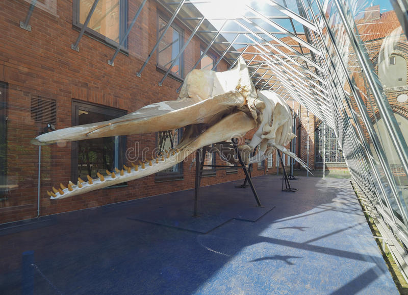 scheletro del capodoglio in Luebeck immagini stock libere da diritti