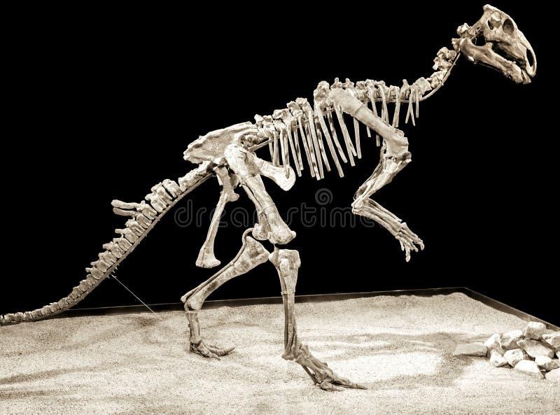 Scheletro del dinosauro - Probactrosaurus immagini stock