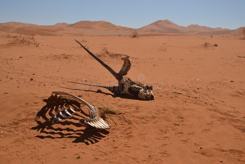 Scheletro del Gemsbok nel deserto di Namib immagine stock