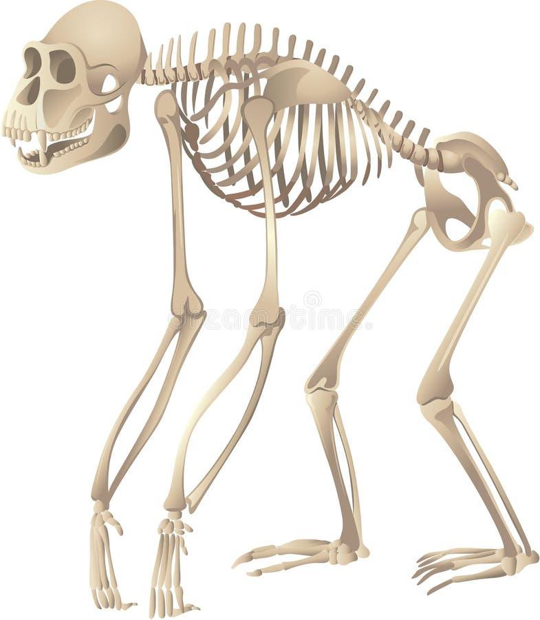 Scheletro del primate illustrazione vettoriale