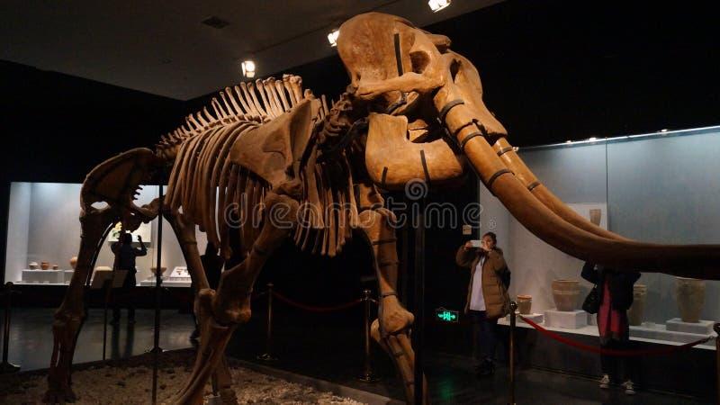 scheletro di Mamiglia in un museo fotografie stock