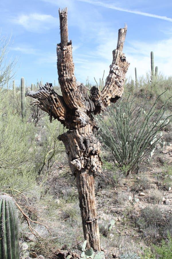 Scheletro di un cactus morto del saguaro fotografie stock