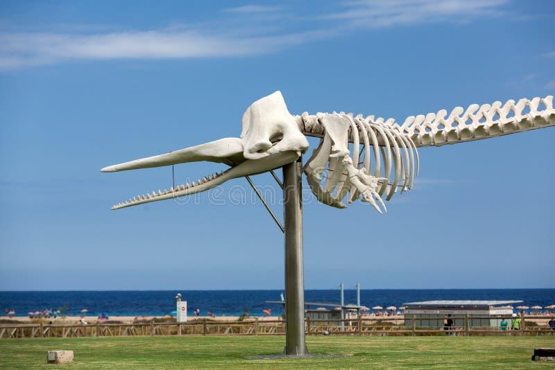 Scheletro di un capodoglio in Morro Jable sull'isola Fuerteventura immagini stock libere da diritti