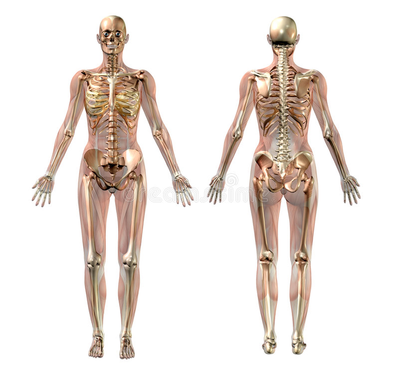 Scheletro femminile con i muscoli trasparenti - con il percorso di residuo della potatura meccanica royalty illustrazione gratis