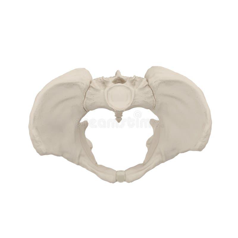 Scheletro femminile del bacino su bianco Vista superiore illustrazione 3D illustrazione di stock