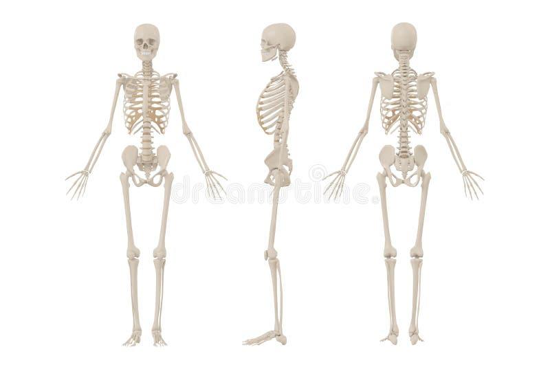 Scheletro umano illustrazione di stock