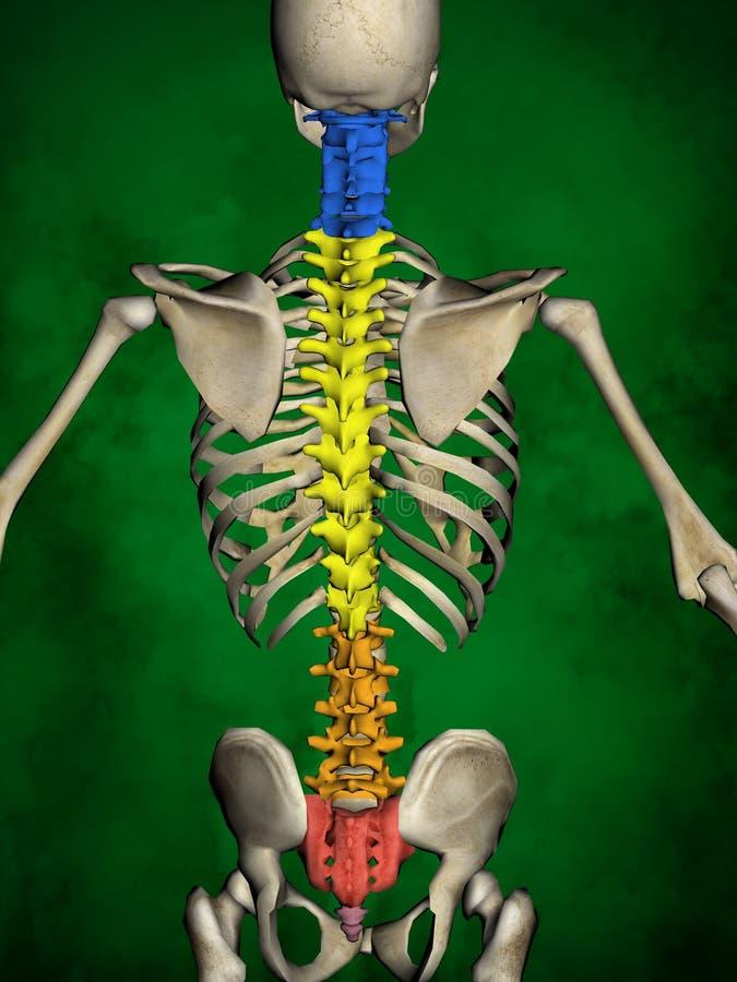 Scheletro umano M-SK-POSE Bb-56-14, colonna vertebrale, modello 3D fotografia stock libera da diritti