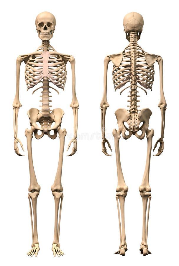 Scheletro umano maschio, due viste, parte anteriore e parte posteriore. illustrazione vettoriale