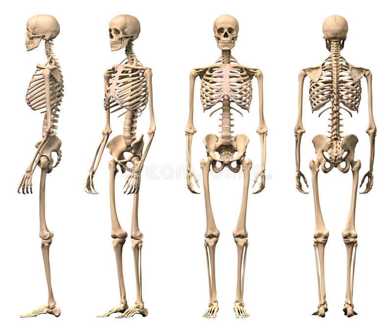 Scheletro umano maschio, quattro viste. royalty illustrazione gratis