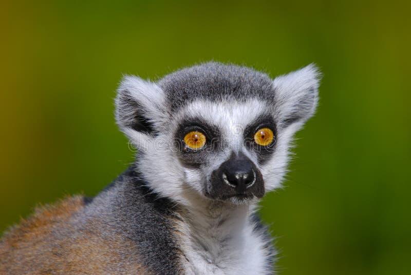 Schellen Sie Angebundenes Lemur Catta Lizenzfreies Stockfoto