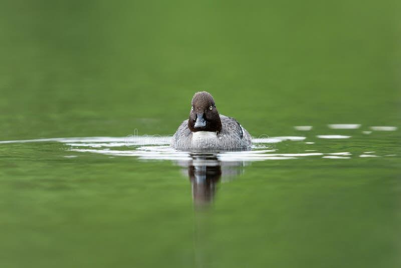 Common duck (goldeneye). Common goldeneye swimming in a lake royalty free stock image