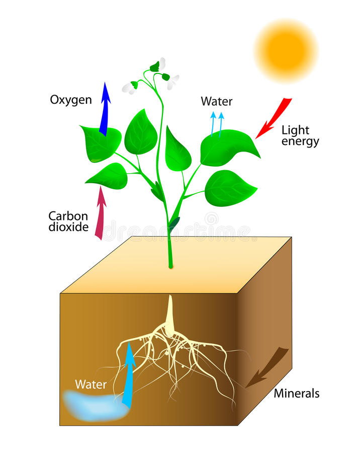 Schema av photosynthesis i växter royaltyfri illustrationer