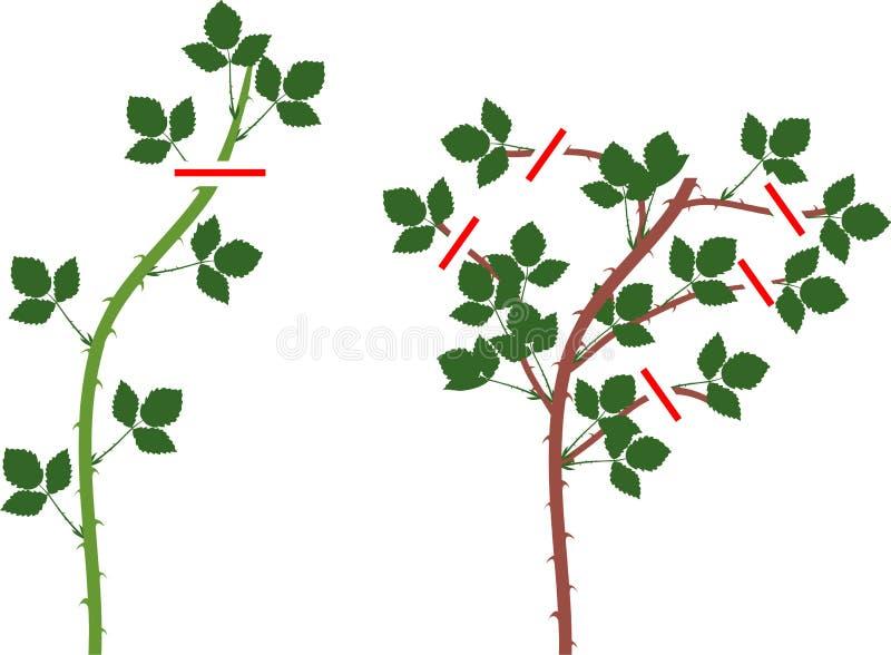 Schema della potatura della pianta di Blackberry per floricane e primocane illustrazione vettoriale
