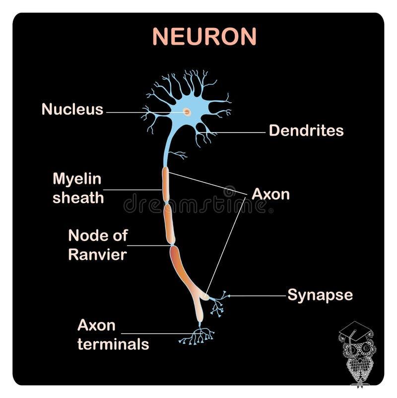 Schema della struttura tipical del neurone di anatomia per istruzione scolastica royalty illustrazione gratis