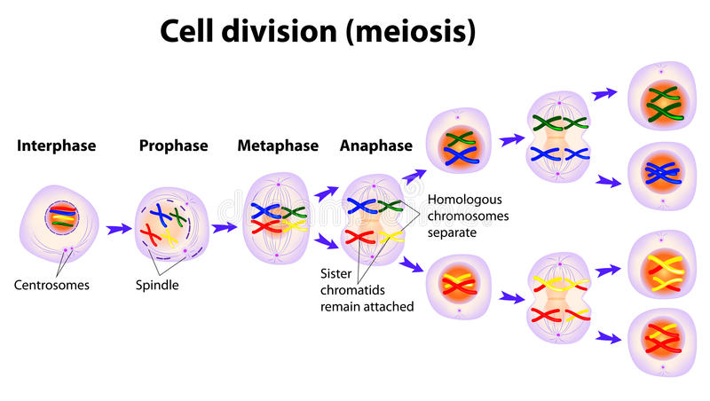 Schema di vettore delle fasi di meiosi illustrazione di stock