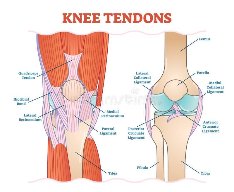 Schema medico dell'illustrazione di vettore dei tendini del ginocchio, diagramma anatomico royalty illustrazione gratis