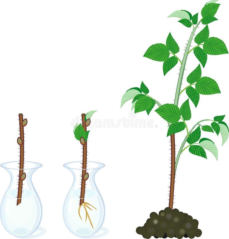 Schema vegetativo della riproduzione del lampone Fasi di crescita dal taglio del gambo del propagule al primo primocane della can illustrazione di stock