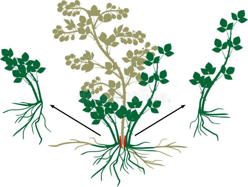 Schema vegetativo della riproduzione di Blackberry Gelso selvatico con le bacche, il sistema della radice e le foglie verdi matur illustrazione vettoriale