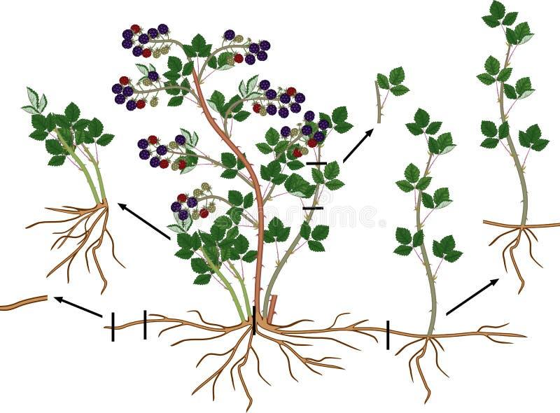 Schema vegetativo della riproduzione di Blackberry Gelso selvatico con le bacche, il sistema della radice e le foglie verdi matur royalty illustrazione gratis