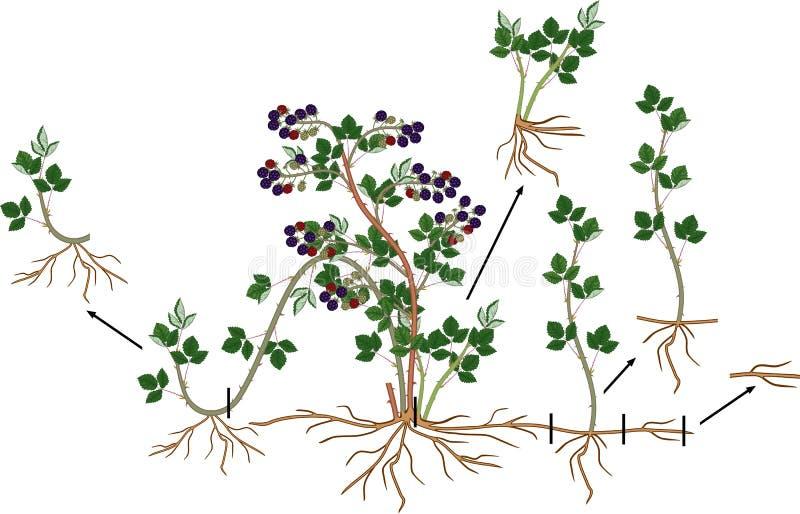 Schema vegetativo della riproduzione della pianta di Blackberry royalty illustrazione gratis