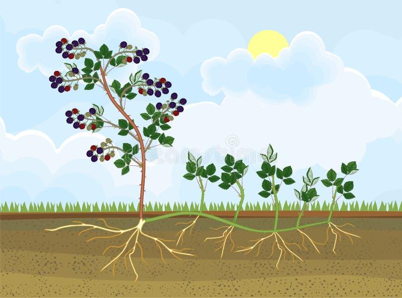 Schema vegetativo della riproduzione della pianta di Blackberry illustrazione vettoriale