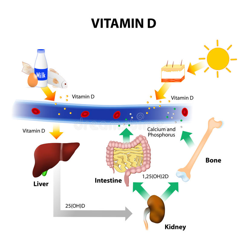 Free Schematic Diagram Of Vitamin D Metabolism Royalty Free Stock Photography - 64187667