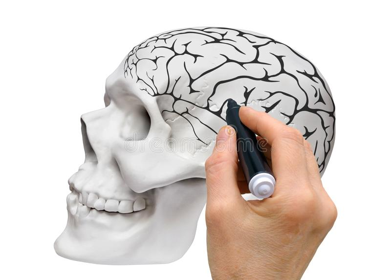 A schematic sketch of the human brain. Hand with a black marker makes a schematic sketch of the brain on the layout of the human skull royalty free stock images