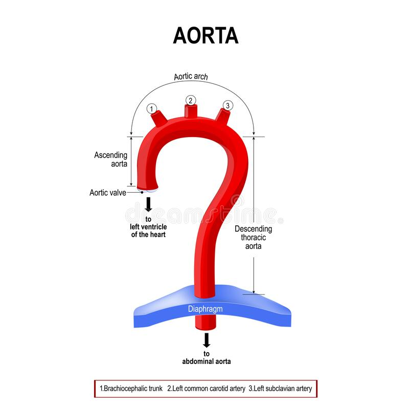 Schematic view of the aorta segments vector illustration