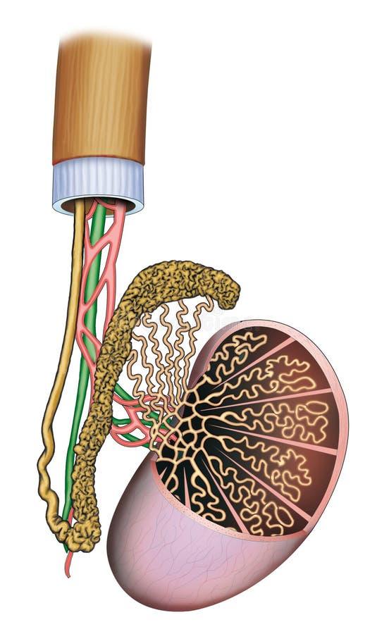 Menselijke testikels stock illustratie