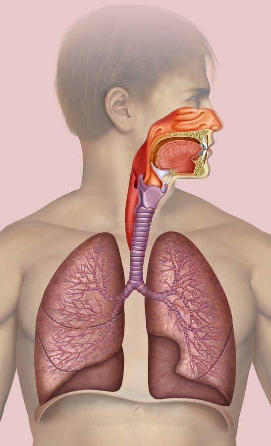 Schematische en beschrijvende illustratie die tot het menselijke ademhalingssysteem behoren stock illustratie