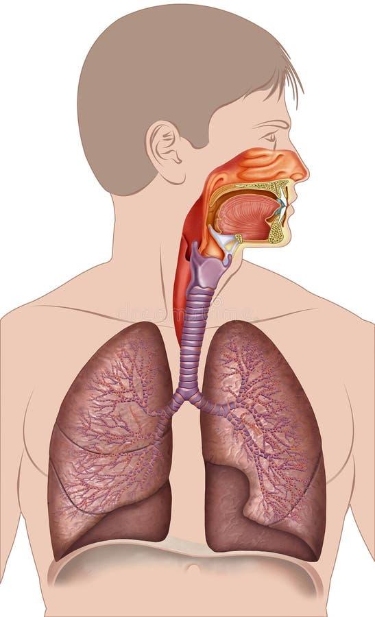 Schematische en beschrijvende illustratie die tot het menselijke ademhalingssysteem behoren royalty-vrije illustratie