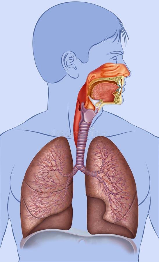 Schematische en beschrijvende illustratie van het menselijke ademhalingssysteem stock illustratie