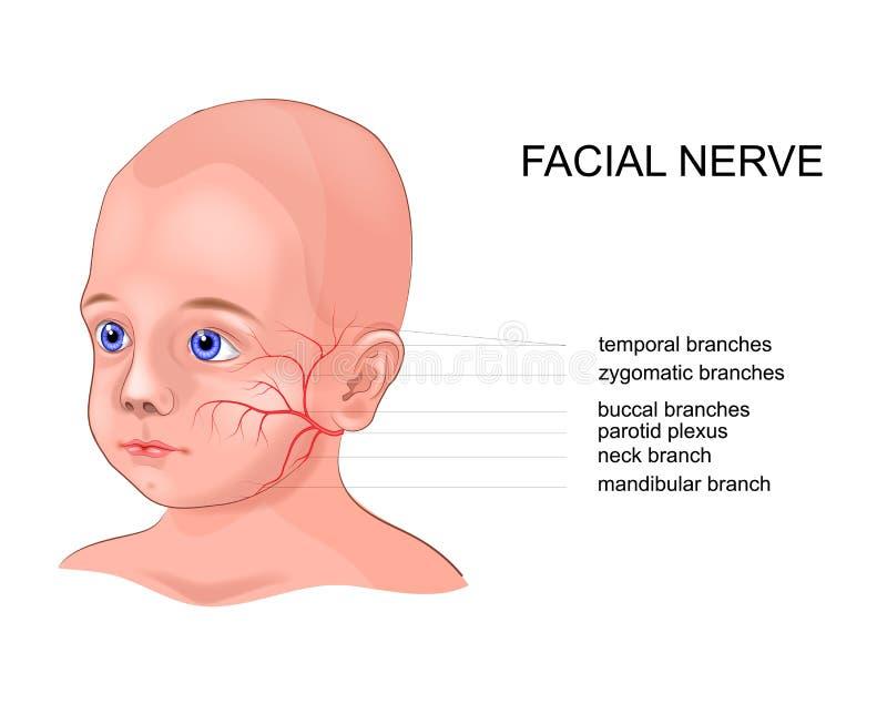 Schematisk anatomi av den ansikts- nerven royaltyfri illustrationer