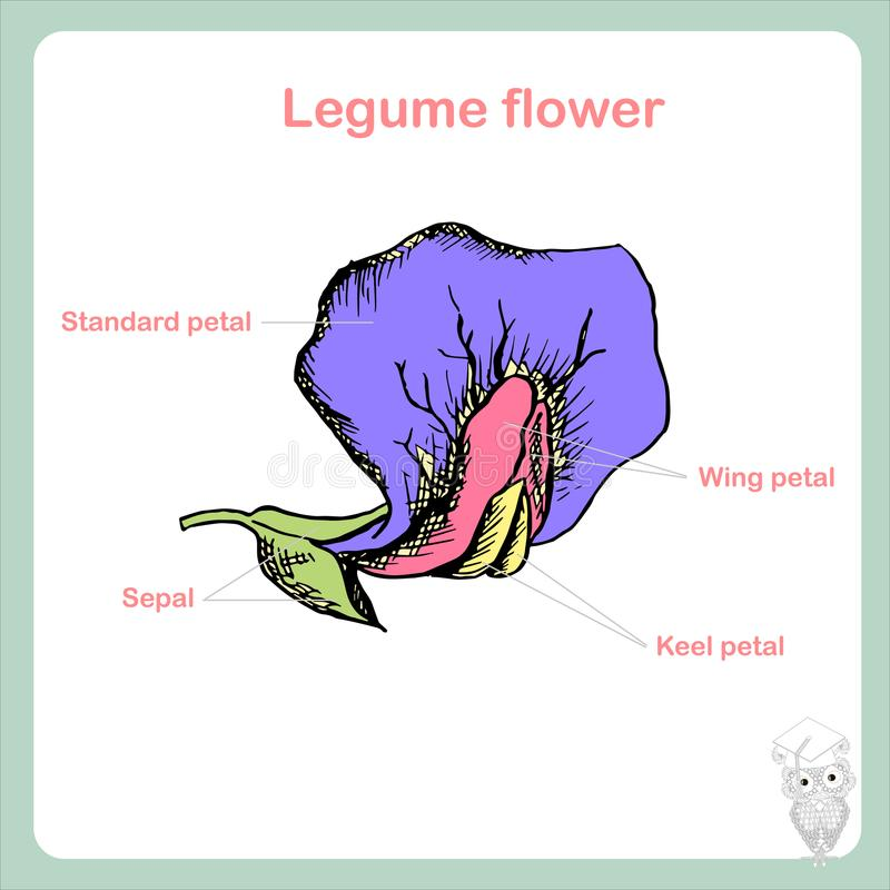 Scheme of legume flower structure learning biology stock vector download scheme of legume flower structure learning biology stock vector illustration of flower ccuart Choice Image