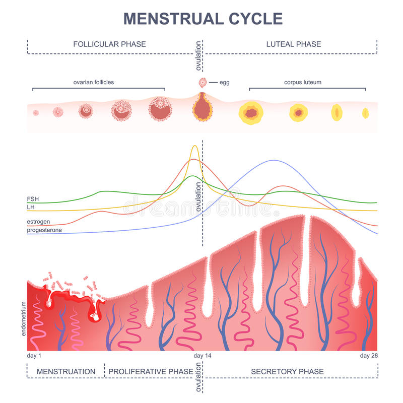Scheme of the menstrual cycle royalty free stock photos