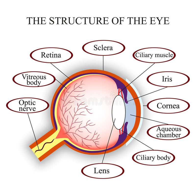 Scheme the structure of the human eye. Vector illustration. Scheme the structure of the human eye, vector illustration stock illustration